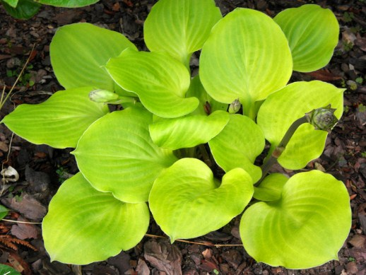 Hosta Vanilla Cream