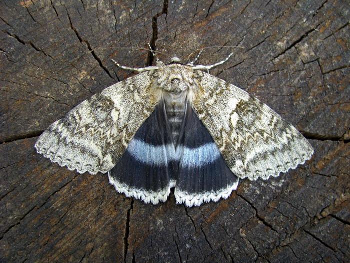 Бабочки - голубая орденская лента